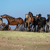 Wild Mustangs of Salt Wells Creek HMA in Wyoming