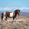 Wild Pinto Stallion Posturing - White Mountain HMA Wyoming