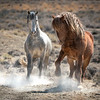 Wild Stallions Raising Dust!