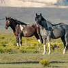 Wild Horses of Wyoming in the Evening Light - Blue Roan and Bay Pinto