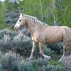 Wild Palomino Stallion Moving Through Aspen