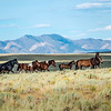 Wild Horses on the Move in Wyoming