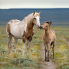 Palomino Pinto Band Stallion With a Young Colt