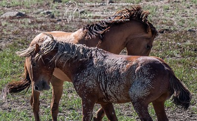Wild Horses of the San Wash Basin