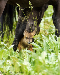 Close Inspection (wild horse and mule deer fawn)