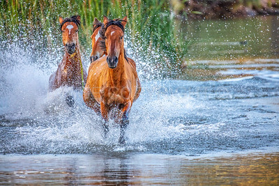 Free and Wild! Wild Horses Running in Water