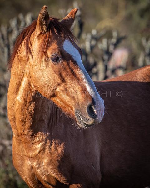 A Proud Wild Horse Stallion