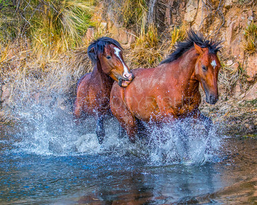 Wild Horses Fighting in Water