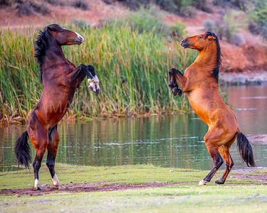 Dueling Wild Horses
