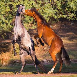 Wild Horses Sparring