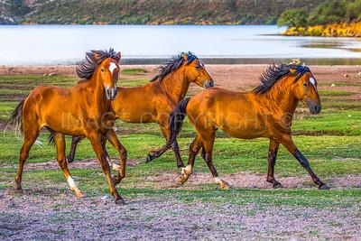 Free and Wild! Wild Horses Running