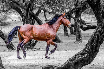 Magnificent Wild Horse Running