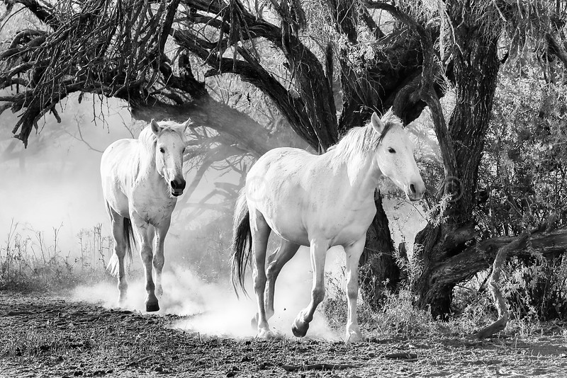 Wild Horses Leaving the Mesquite Forest