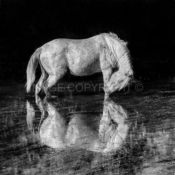 Wild Horse in the Lower Salt River--black and white