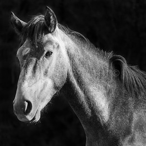 Young Wild Horse