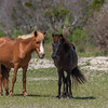 Feral Horses of Shackleford Banks