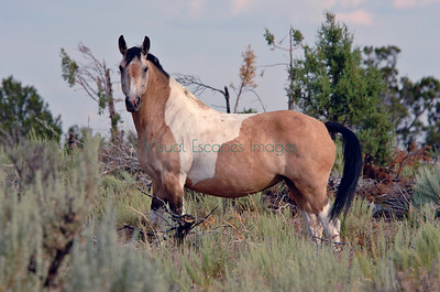Little Bookcliffs HMA mustang mare