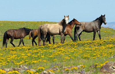 wild horses of Mt. Taylor, New Mexico