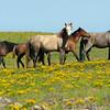 wild horses of Mt. Taylor, New Mexico
