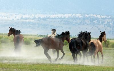 Pizona wild horses, California