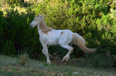 D1_12855 White stallion returning to his herd
