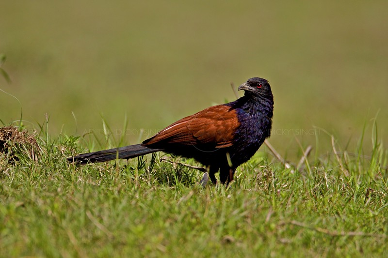 Greater Coucal or the Crow Pheasant (Centropus sinensis) in Magudi wetlands in Assam