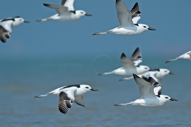 Crab Plovers in flight in coastal Gujarat