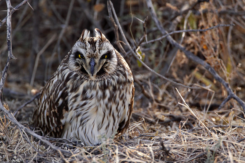 Short-eared Owl (Asio flammeus) roosting in the Rann of Kutch