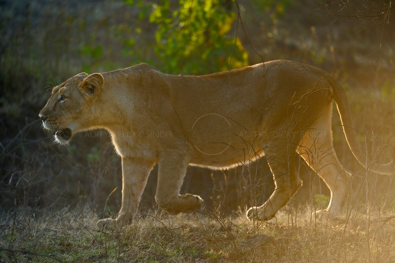 Asiatic lion (Panthera leo persica) at dawn in Gir national park