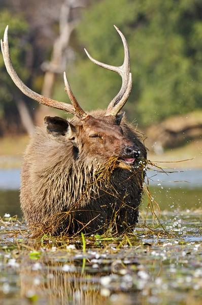 Sambar Deer stag (Cervus unicolor niger) grazing in a lake in Ranthambore national park