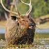 Sambar Deer stag (Cervus unicolor niger) grazing in a lake in Ranthambore national park