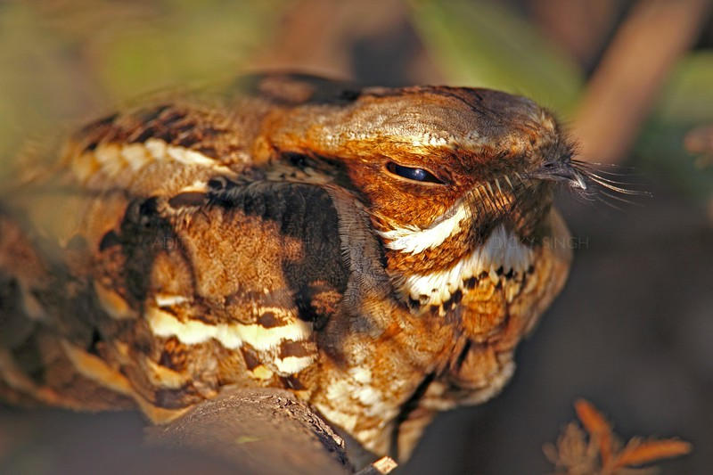 Long-tailed Nightjar (Caprimulgus climacurus) roosting in Bharatpur