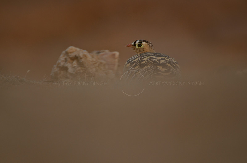 Painted Sandgrouse (Pterocles indicus) male on the ground in Ranthambhore