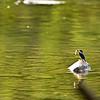Common Kingfisher or the European Kingfisher fishing for Mahsheer fishlings in green waters of Ramganga river