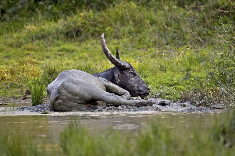 Wild Buffalo in Kaziranga national park in the northeast Indian state of Assam.