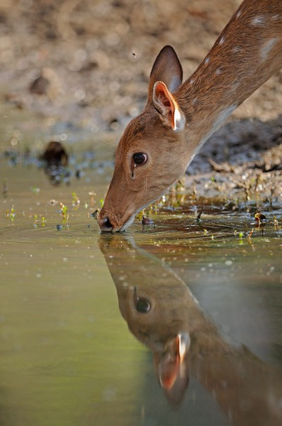A female Spotted or Axis deer (Axis axis) drinking water in Ranthambhore in misty winters