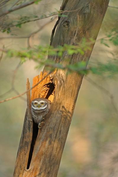 Spotted Owlet (Athene brama) in Ranthambhore national park