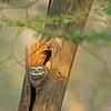 Spotted Owlet (Athene brama) in Ranthambhore national park