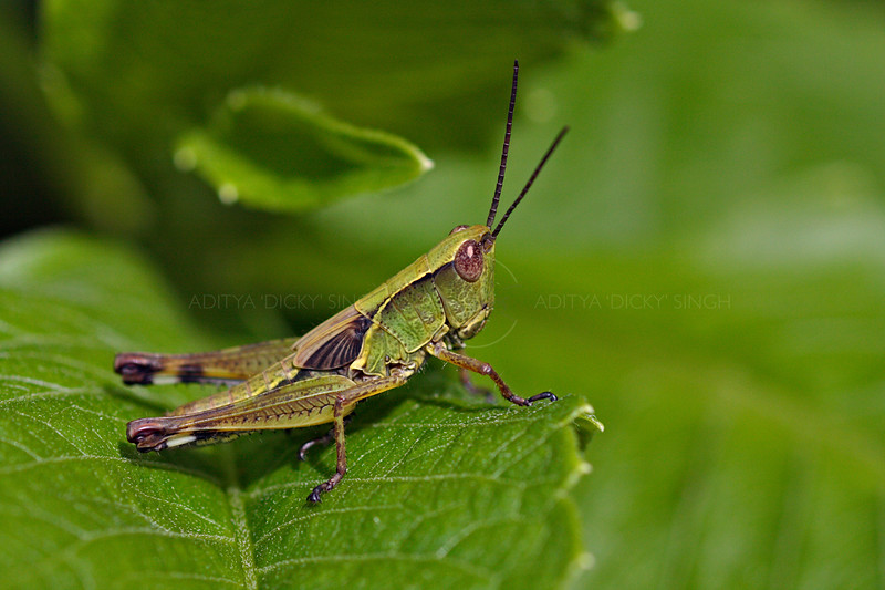 Green colored Grasshopper on green leaf