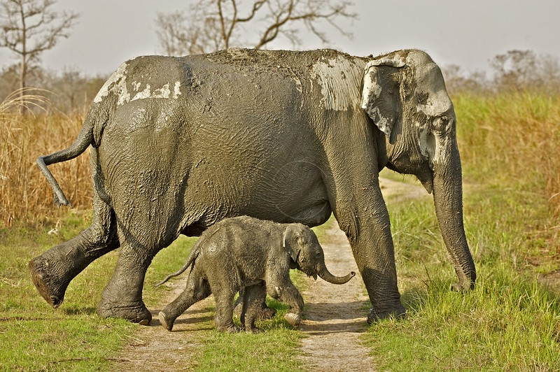 Asian or Asiatic Elephant (Elephas maximus) mother and calf in the grasslands of Kaziranga national park in Assam
