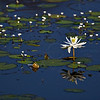 White lily in the blue waters of a lake in Ranthambhore tiger reserve