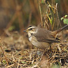 Bluethroat (Luscinia svecica) in Keoladeo Ghana national park, Bharatpur, India