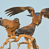 Steppe Eagles (Aquila nipalensis) in Rajasthan, India