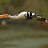 Painted Stork (Mycteria leucocephala) in flight with twigs for nest building in its beak in the heronry at Bharatpur bird snactuary