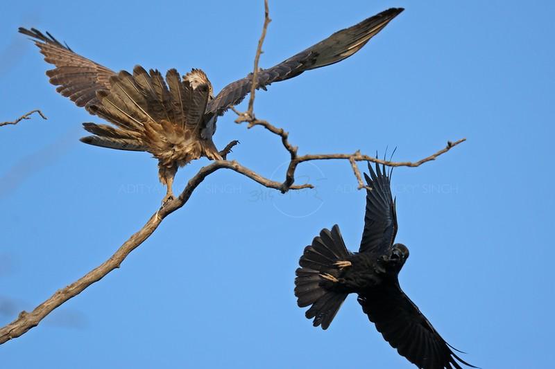 Jungle Crow (Broad Billed Crow) attacking an Oriental Honey Buzzard in Ranthambhore