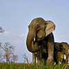 Low angle shot of a Female Asian elephant with her calf in Kaziranga national park