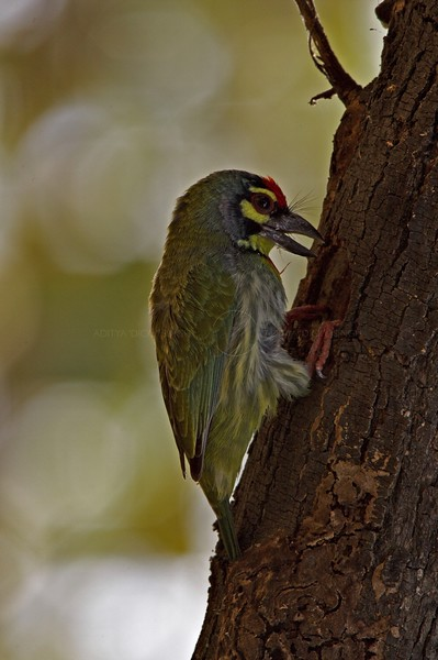 Coppersmith Barbet or Crimson-breasted Barbet (Megalaima haemacephala) in Bharatpur