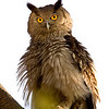 Dusky Eagle-owl (Bubo coromandus) sitting in the open on perch in Ranthambore national park in India with feathers all ruffled up