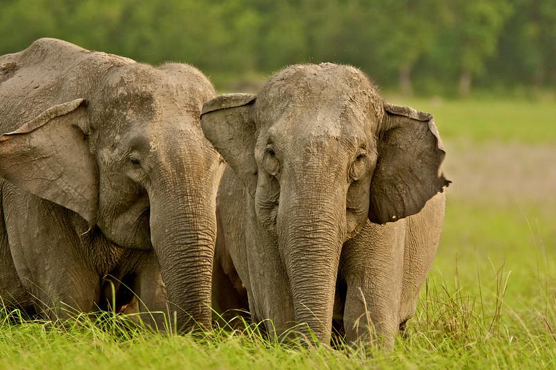 Elephant in grasslands of Corbett