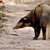 Hog Badger (Arctonyx collaris) in Kaziranga national park in Assam